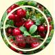 Брусника ягода
