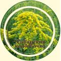 Золотарник (золотая розга) трава