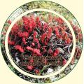 Золотой корень (Родиола розовая)